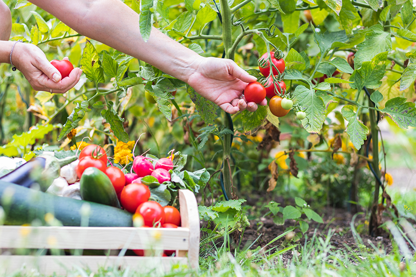 someone plucking tomato's from a tomato plant